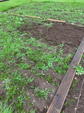 Allotment potatoes planted
